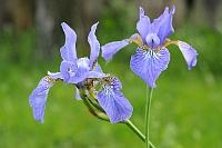 Fotografia przyrody: niebieski irys