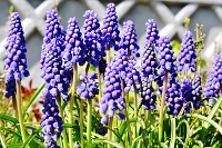 Fotografia przyrody: niebieskie szafirki