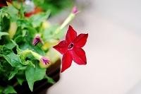Fotografia przyrody: kwiat tytoniu